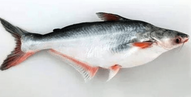 পাঙ্গাস মাছ