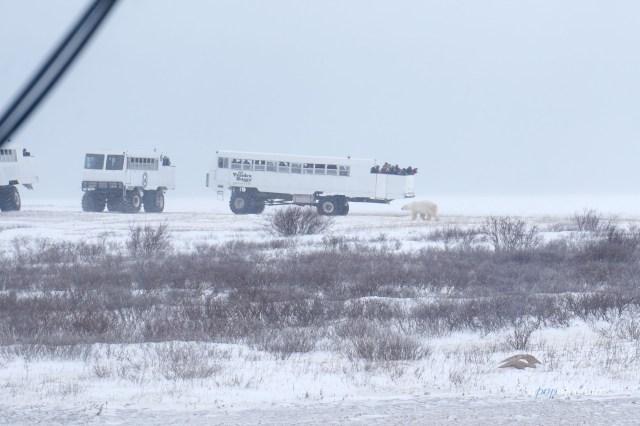 Tundra buggies in Churchill, Manitoba