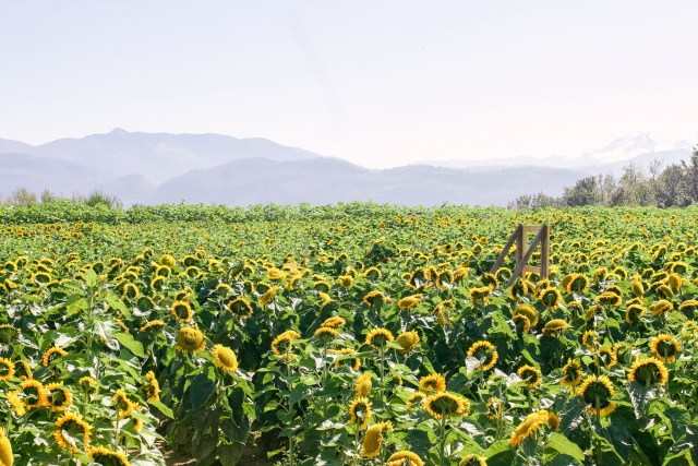Sunflowers at Maan's Farm in Abbotsford, BC