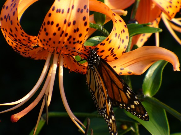 Monarch & Tiger Lily Hamilton Ontario