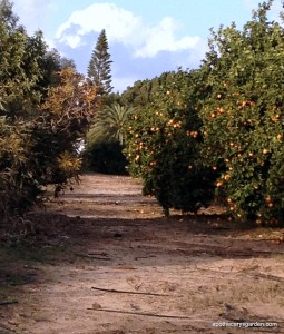 Orange orchard Rehovot Israel