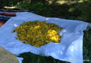 Sorted & Cleaned Dandelion Flowers May 2013
