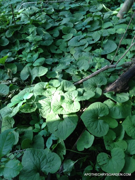 Essential oil of wild ginger-Wild Ginger in woods - Ontario