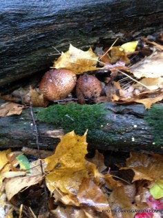 Wild Mushrooms-Don't know! Didn't get around to identifying these! Didn't eat them either of course.