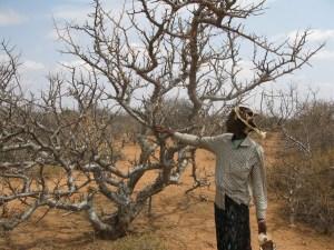 Myrrh tree oleo-resin Ethiopia. Ermias Dagne