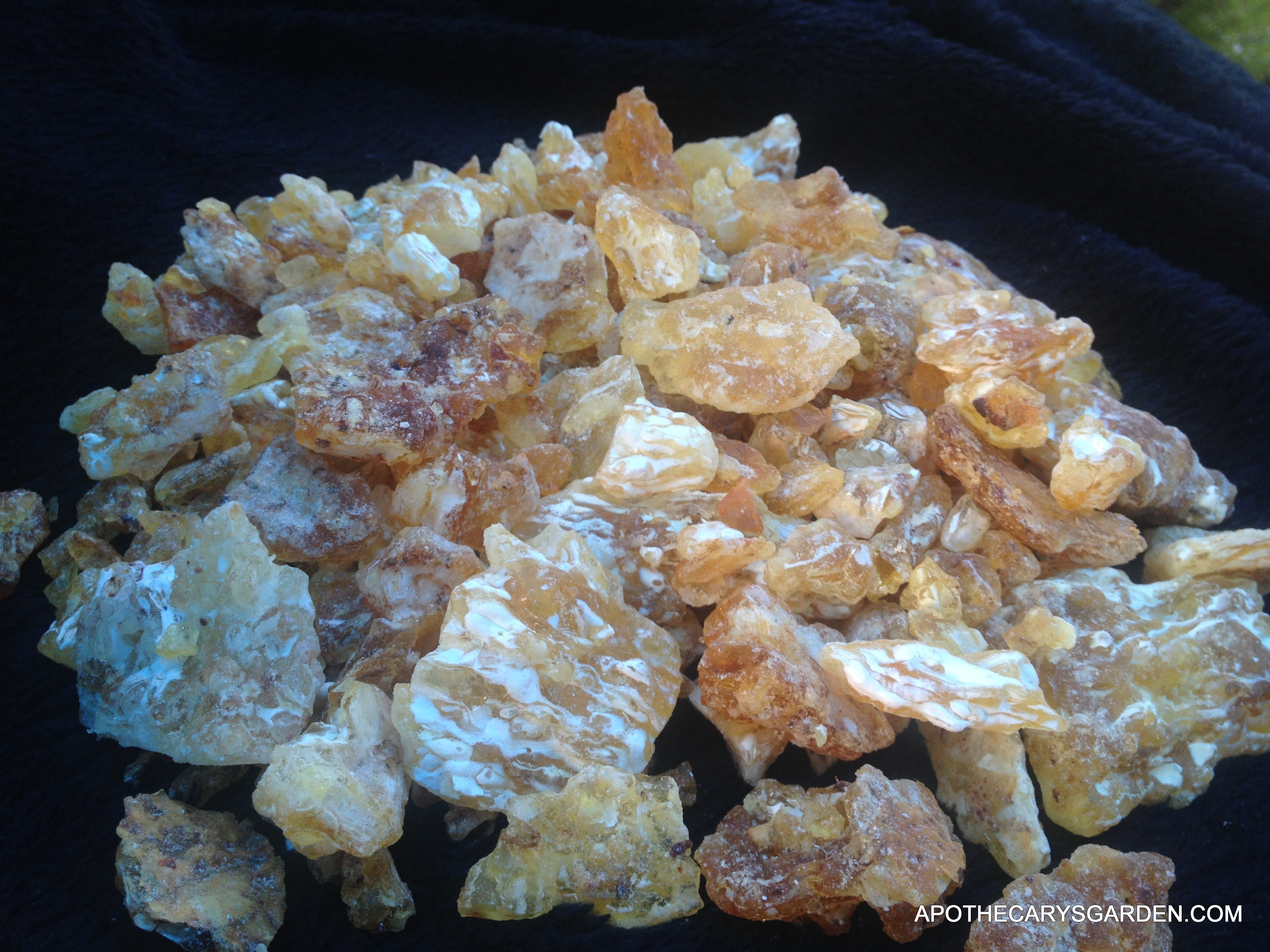 "Fresh co-op harvested Frankincense Frereana- from Somaliland-"" Maydi or Yemenite Chewing Gum"""