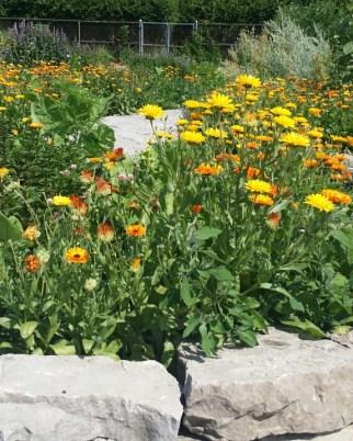 Calendula Harvest 2014 Apothecary's Garden Churchill Park Hamilton