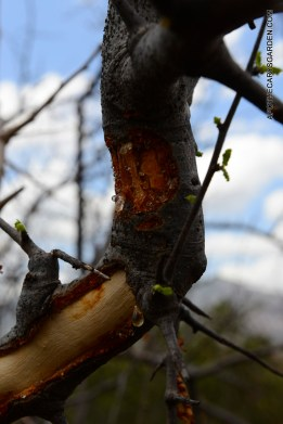Boswellia Neglecta-fresh sap