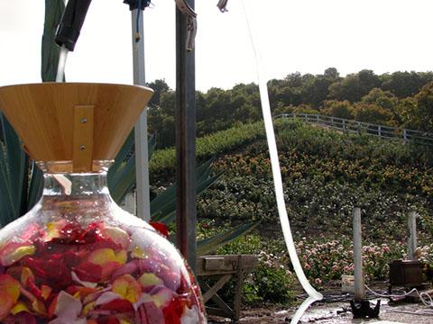 Distillation of Rose-Jack Chaitman