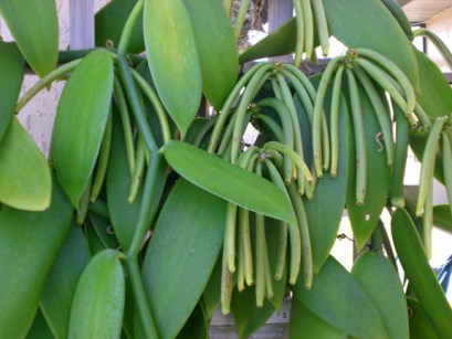 vanilla-pods-ready-for-picking