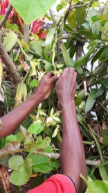 Hand pollinating Vanilla flowers