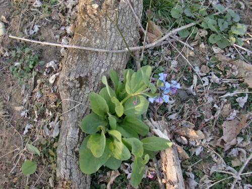 Spring bluebells in Virginia.