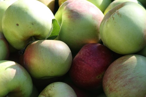 amazing apples grown by my dad in VA - ida reds. photo A. Barley