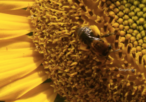 Look at the pollen sacs on my little honey bee (Apis)!