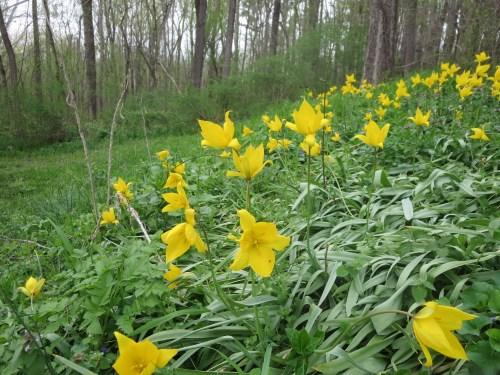 Jeffersonian tulips