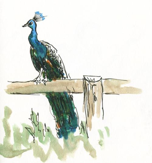 Mr Pea on his usual perch (by Joel Winstead)