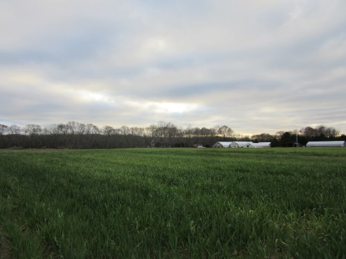 Cover crop of oats and peas will be plowed under in the Spring