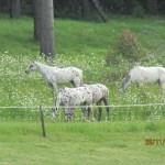 strider-an-mares2