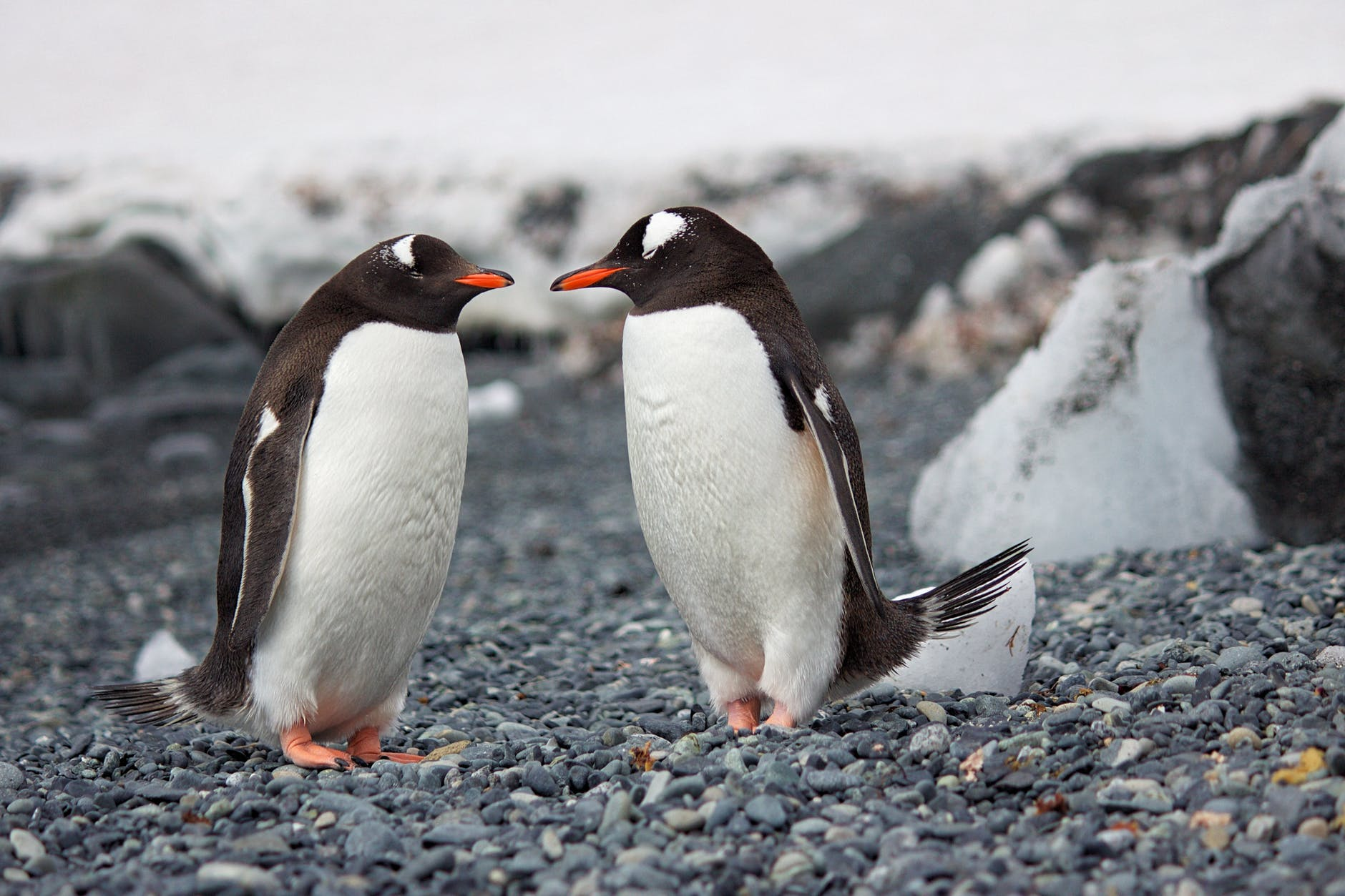 selective focus photography of two penguins