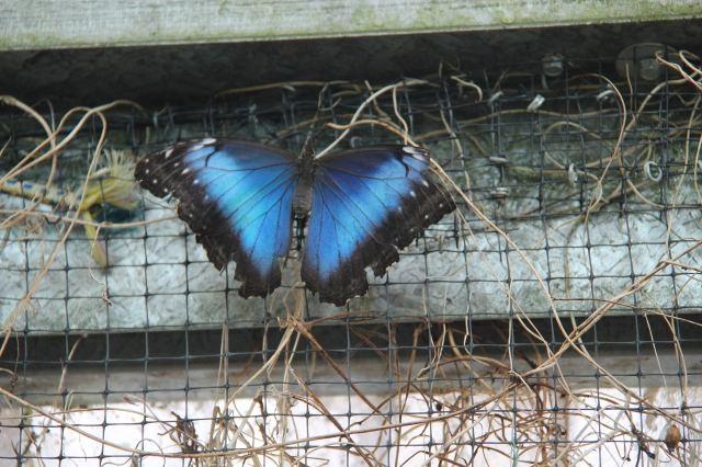 papillon morpho ferme die