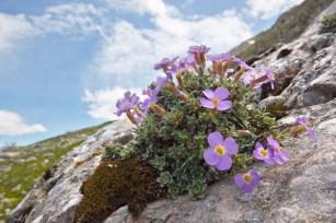 Aubrieta-columnae-AZ200513-292