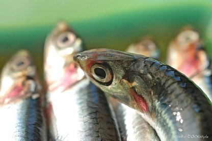 Fresh anchovies | Photo ©OrsolaCirielloKogan