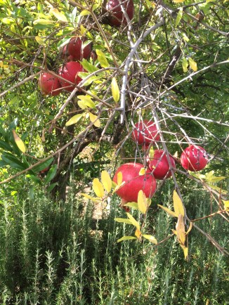 Pomegranates galore!