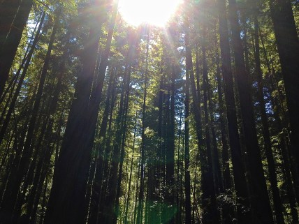 Armstrong Redwood Forest