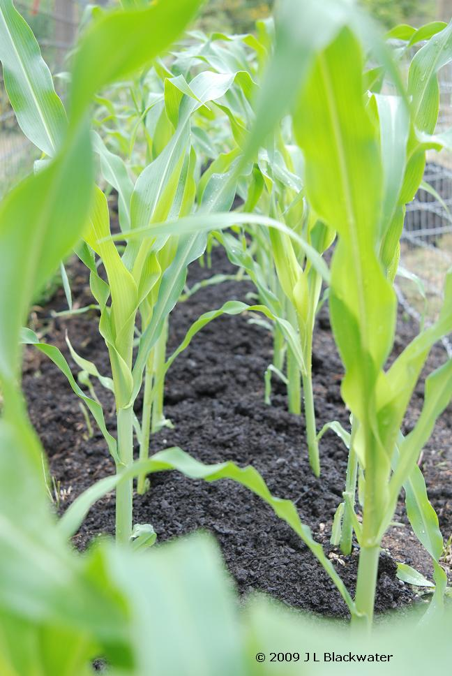 Corn Sprouts: Fairy's-Eye-View, Copyright © 2009 Jade Leone Blackwater