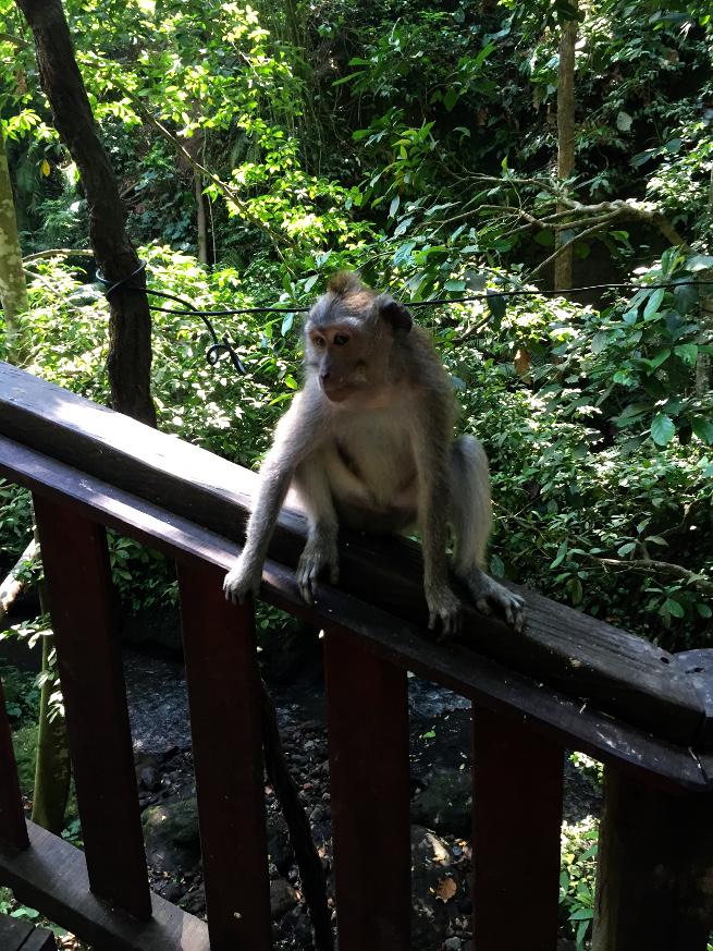 ubud monkey forest monkey flirting
