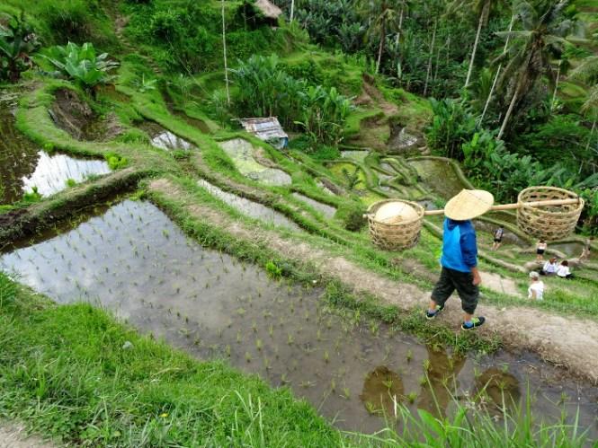 ubud tegallalang ricefarmer
