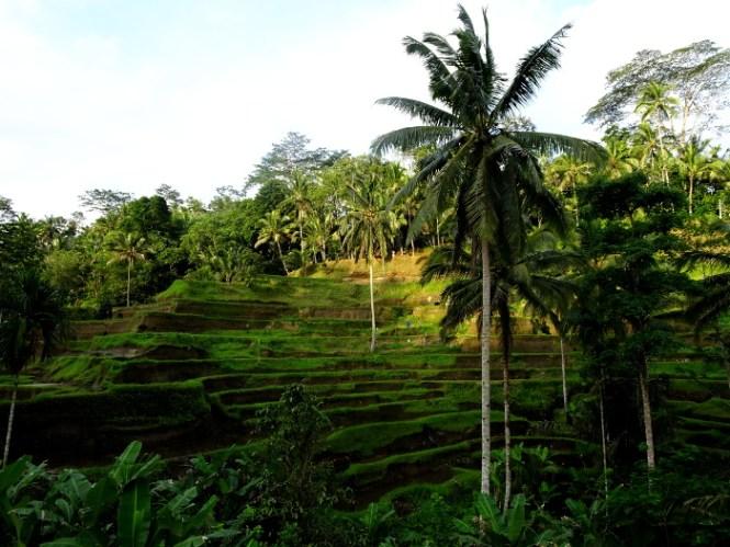 bali ubud tegallalang ricefield