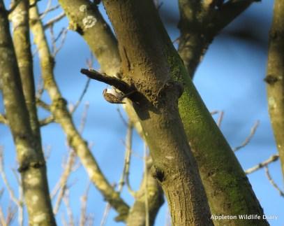 Treecreeper on Jan bird survey