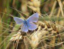 Common_blue_Alex_White_3_300dpi