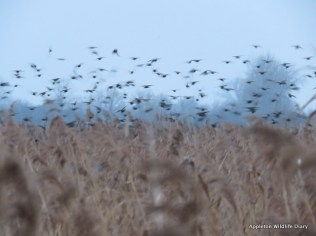 Starlings over reedbed at Otmoor