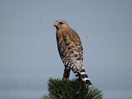 red shouldered hawk new jersey