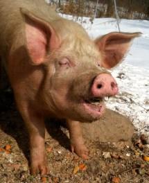 Swine Ear Notching - Year of Clean Water