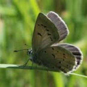 The underwing pattern of dots are key features for identifying Fender's as compared to the more common silvery blue butterfly