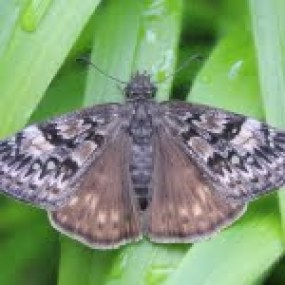 Other pollinators, such as this Propertius duskywing butterfly, also depend on healthy prairies.