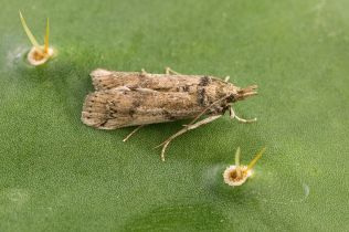 1024px-cactoblastis_cactorum_moth_female