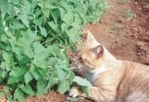 What does catnip do to cats?
