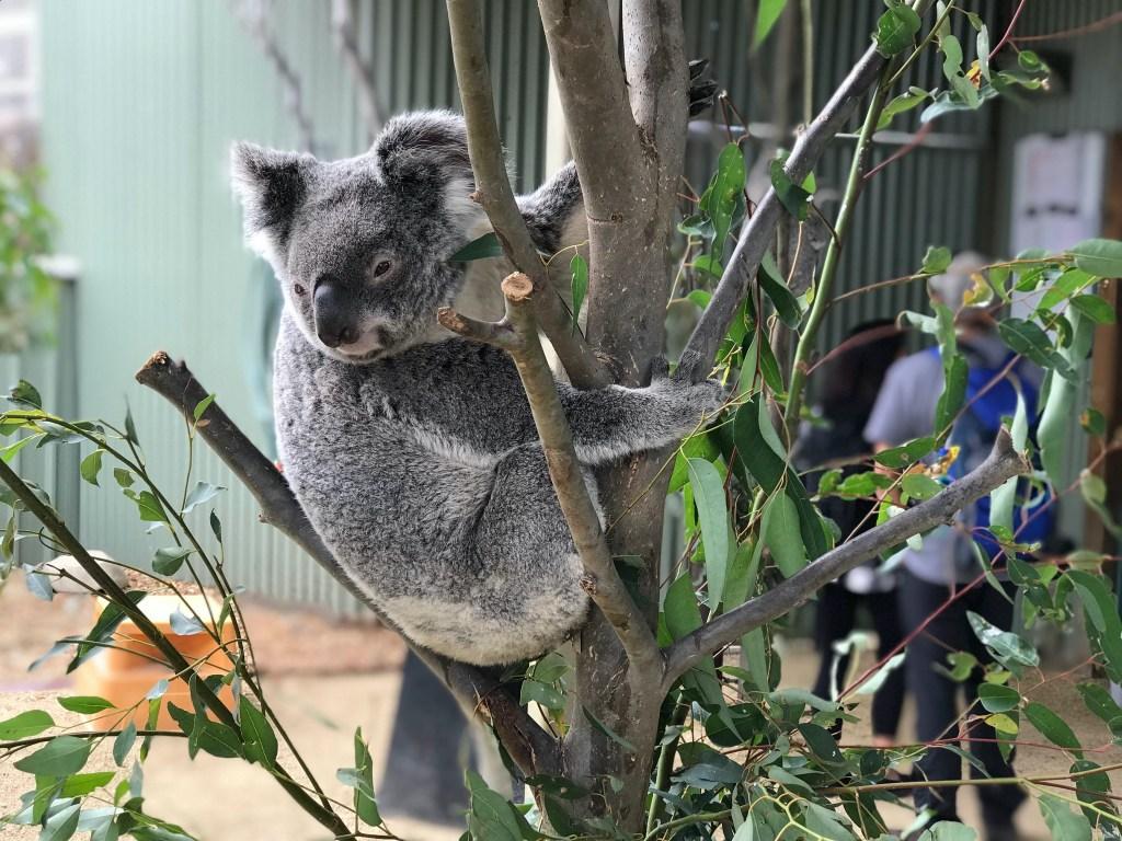Australia Itinerary Koala at Sydney WILD