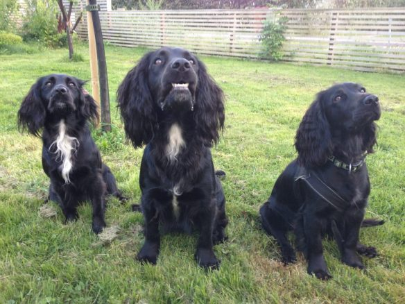 The other day I was out training with the three musketeers. To qualify as a musketeer you have to be a black Cocker Spaniel at the age of one year. From the left: Tassla, Jagger, and Bonnie.