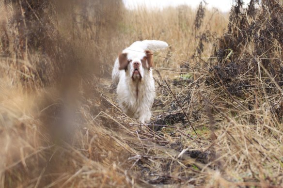 Kerstin, the clumber spaniel, took a little break to go for a swim and then got back to work