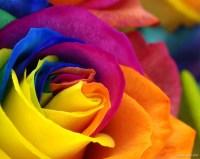 Colorful Rose Wallpaper download - Rose HD Wallpaper - Appraw