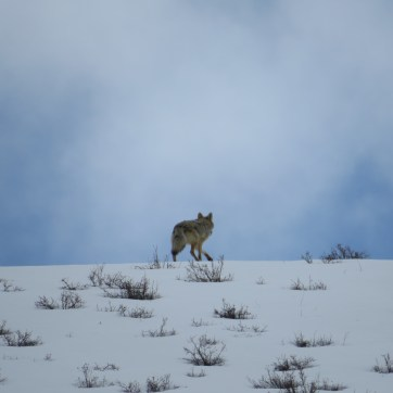 A coyote shot taken by Zach as we were driving in Central WY.