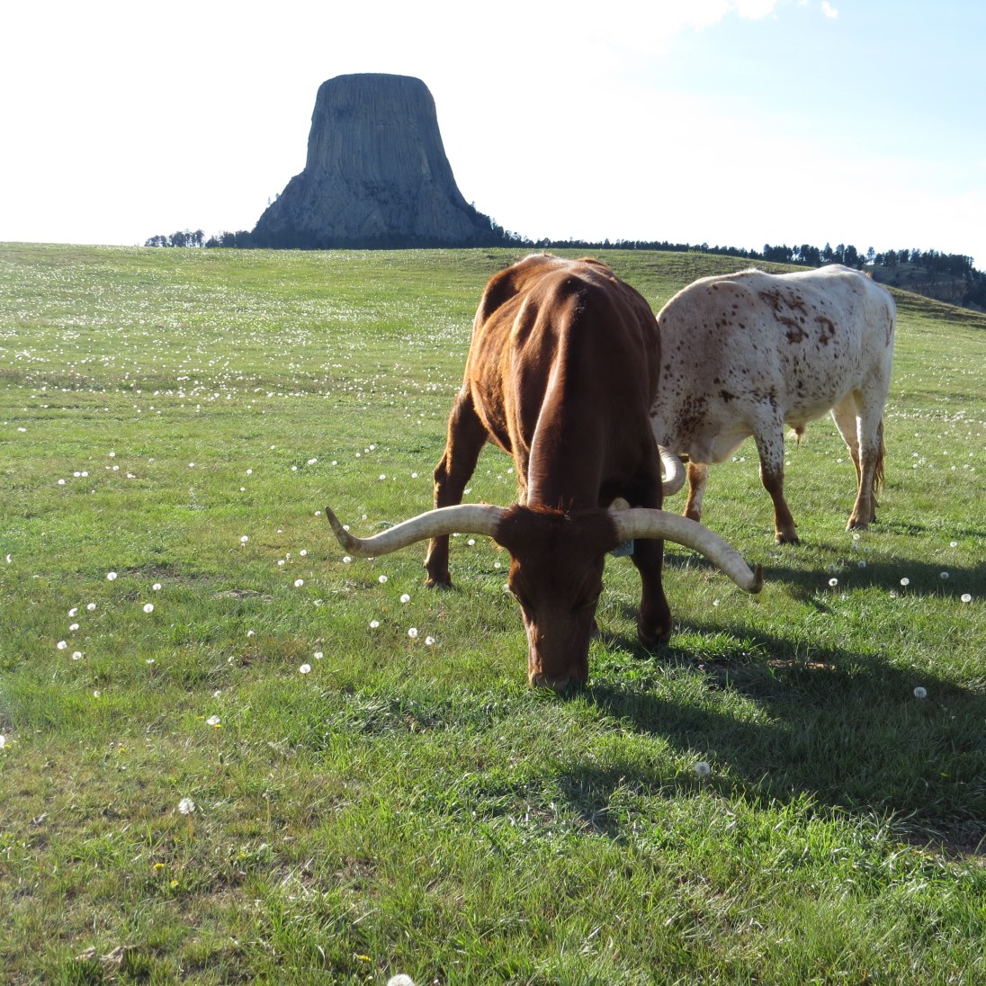 Two long horn cows.