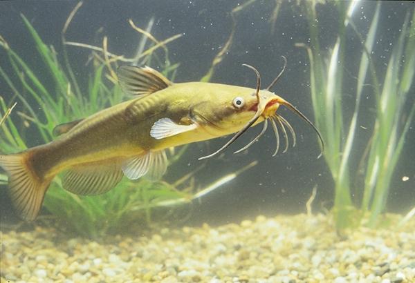 Poisson-chat sous l'eau
