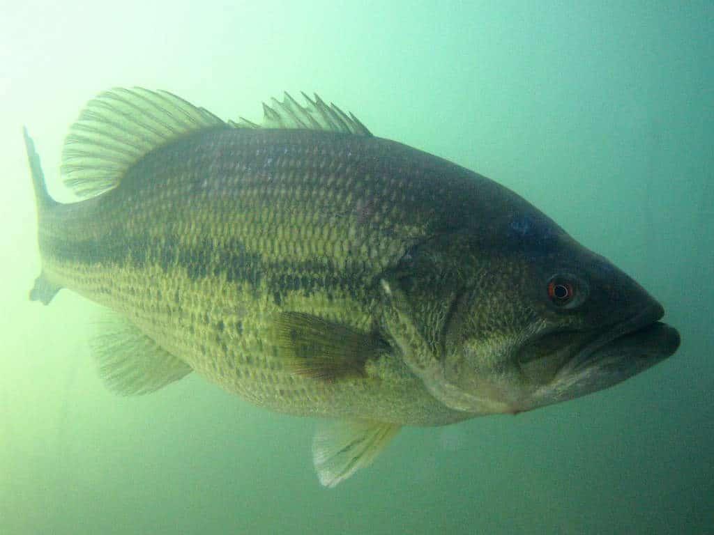 black-bass-sous l'eau