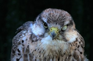 membrane nictitante oiseau